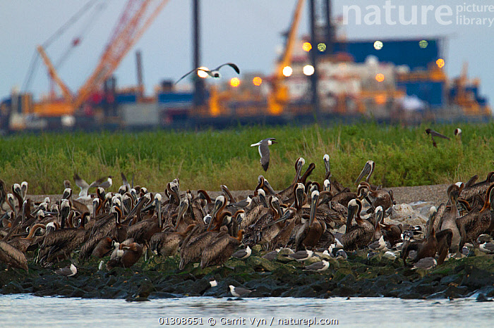 Flock of Brown Pelicans (Pelecanus occidentalis) roosting on Queen Bess Island in Barataria Bay. The nesting colony on this island was heavily impacted by the BP Deepwater Horizon, Gulf of Mexico oil spill. Response vessels are seen in the background. Jefferson Parish, Louisiana. USA, July 2010., BIRDS,British Petroleum,DEEPWATER HORIZON,ENVIRONMENTAL,FLOCKS,NORTH AMERICA,OIL,PELICANS,petroleum,POLLUTION,SEABIRDS,spill,USA,VEHICLES,VERTEBRATES, Gerrit Vyn