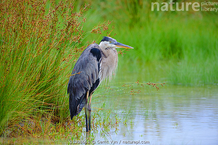 Great Blue Heron (Ardea herodias) lightly oiled as a result of the BP Deepwater Horizon oil spill in the Gulf of Mexico. Standing in a coastal marsh. Gulf Islands National Seashore, Florida. USA, June 2010., BIRDS,British Petroleum,COASTS,contaminated,CRUDE OIL,DEEPWATER HORIZON,disaster,ENVIRONMENTAL,HERONS,LANDSCAPES,NORTH AMERICA,OIL,POLLUTION,SICK,spill,USA,VERTEBRATES,WETLANDS, Gerrit Vyn
