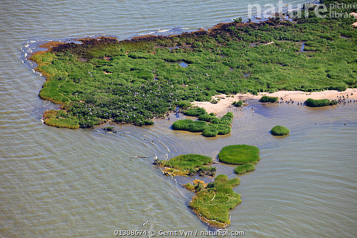 Aerial view of oiled bird nesting colonies in Barataria Bay area of the Mississippi River delta, contaminated by oil from the BP Deepwater Horizon leak in the Gulf of Mexico. Plaquemines Parish, Louisiana, USA, July 2010., AERIALS,BEACHES,BIRDS,breeding colonies,British Petroleum,COASTS,contamination,CRUDE OIL,DEEPWATER HORIZON,ENVIRONMENTAL,LANDSCAPES,OIL,POLLUTION,response,RIVERS,slick,spill,USA,WETLANDS,North America, Gerrit Vyn