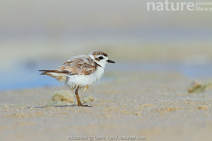 Heavily oiled adult Snowy Plover (Charadrius nivosus). This bird was oiled by the BP Deepwater Horizon oil leak. Bon Secour National Wildlife Refuge. Baldwin County, Alabama, USA. June., BEACHES, BIRDS, British Petroleum, COASTS, contaminated, disaster, ENVIRONMENTAL, NORTH-AMERICA, OIL, PLOVERS, POLLUTION, refuge, spill, USA, VERTEBRATES, WADERS,North America, Gerrit Vyn