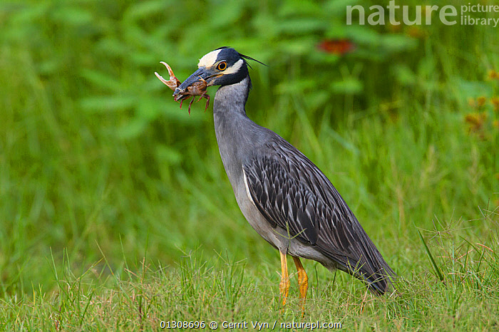 Yellow-crowned Night-Heron (Nyctanassa violacea) with fiddler crab prey. Plaquemines Parish, Louisiana, USA, July., BEHAVIOUR,BIRDS,CRABS,HERONS,HUNTING,NORTH AMERICA,PORTRAITS,PREDATION,prey,USA,VERTEBRATES,WETLANDS, Gerrit Vyn