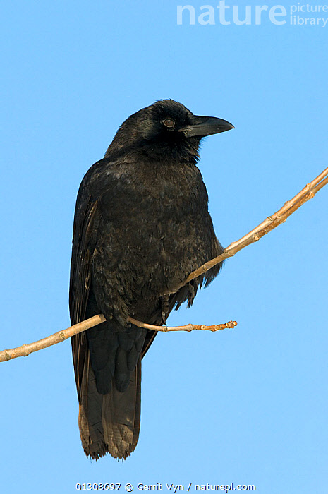 American Crow (Corvus brachyrhynchos) perched on a branch, with blue sky behind, Tompkins County, New York, USA, December., BIRDS,CORVIDS,CROWS,PORTRAITS,VERTEBRATES,VERTICAL,WINTER,North America, Gerrit Vyn