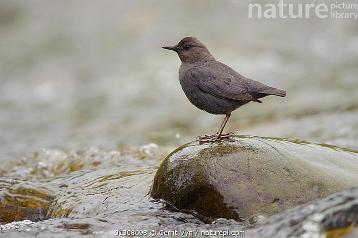 American Dipper (Cinclus mexicanus) standing on exposed stone, in fast flowing stream. King County, Washington, USA, April., AQUATIC,BIRDS,DIPPERS,FISHING,HUNTING,OUZEL,STREAMS,USA,VERTEBRATES,WATER,North America, Gerrit Vyn