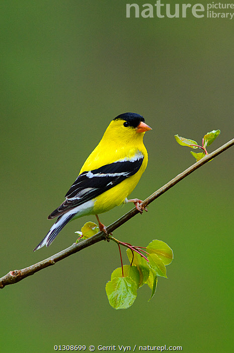 American Goldfinch (Carduelis tristis) male in breeding plumage, perched on branch, Tompkins County, New York, USA. May., BIRDS,COLOURFUL,FINCHES,MALES,USA,VERTEBRATES,YELLOW,North America, Gerrit Vyn