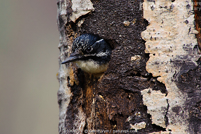 American Three-toed Woodpecker (Picoides dorsalis) female, with head emerging from nest cavity in tree trunk. Alberta, Canada. May., BIRDS,CANADA,FEMALES,NESTS,TREES,VERTEBRATES,WOODPECKERS,North America,PLANTS, Gerrit Vyn