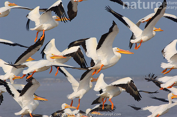 Flock of American White Pelicans (Pelecanus erythrorhynchos) taking flight. Texas, USA, March., BIRDS,FLOCKS,FLYING,PELICANS,SEABIRDS,USA,VERTEBRATES,North America, Gerrit Vyn