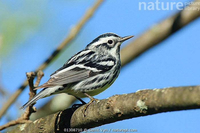 Black-and-white Warbler (Mniotilta varia) male perched on branch, in breeding plumage. St. Lawrence County, New York. May, BIRDS,BREEDING PLUMAGE,MALES,PORTRAITS,VERTEBRATES,WARBLERS, Gerrit Vyn