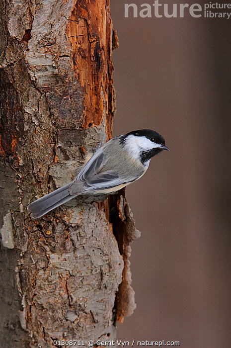 Black-capped Chickadee (Poecile atricapillus) clinging to a tree trunk. Tompkins County, New York, USA, February., BIRDS, TITS, TREES, VERTEBRATES, VERTICAL, WINTER,PLANTS,North America, Gerrit Vyn