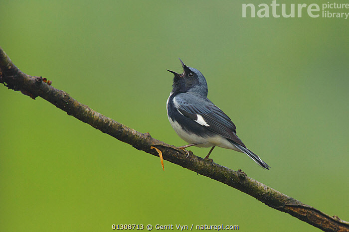 Black-throated Blue Warber (Dendroica caerulescens) male in breeding plumage, singing. Tompkins County, New York, USA, May., BIRDS, CALLING, MALES, songbirds, USA, VERTEBRATES, VOCALISATION, WARBLERS,North America, Gerrit Vyn