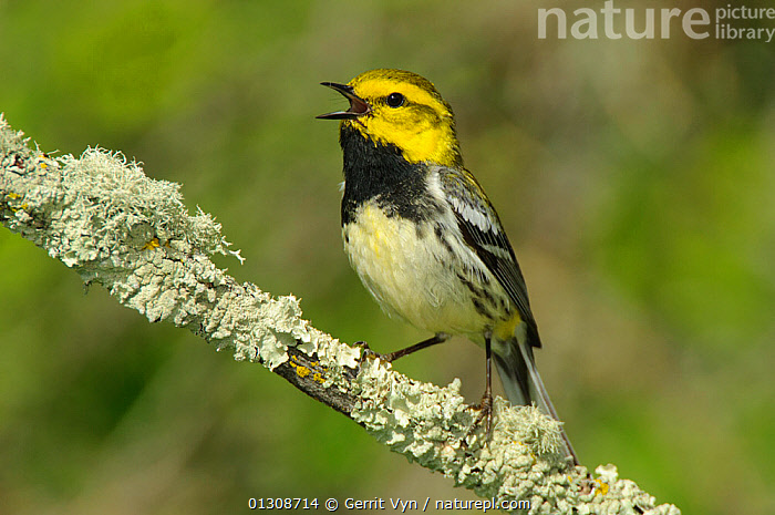 Black-throated Green Warbler (Dendroica virens)  male perched on lichen covered branch, in breeding plumage, singing. Alberta, Canada. June., BIRDS, CALLING, CANADA, LICHEN, MALES, PORTRAITS, songbirds, VERTEBRATES, VOCALISATION, WARBLERS,North America, Gerrit Vyn