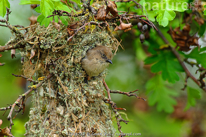 Bushtit (Psaltriparus minimus) female leaving her nest. King County, Washington, USA, May., BIRDS,FEMALES,NESTS,PASSERIFORMES,SONGBIRDS,USA,VERTEBRATES,North America, Gerrit Vyn