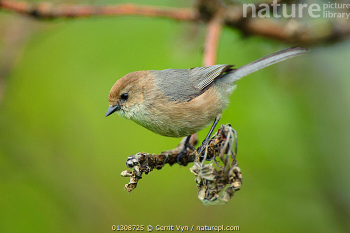 Bushtit (Psaltriparus minimus) male perched on branch, near nest, King County, Washington, USA, May., BIRDS,MALES,PASSERIFORMES,PORTRAITS,SONGBIRDS,USA,VERTEBRATES,North America, Gerrit Vyn