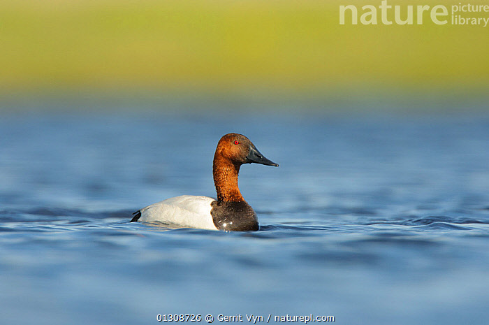 Canvasback Duck (Aythya valisineria) male on a prairie pond. Alberta, Canada. May., BIRDS,CANADA,DUCKS,MALES,PONDS,VERTEBRATES,WATER,WATERFOWL,North America,Wildfowl, Gerrit Vyn