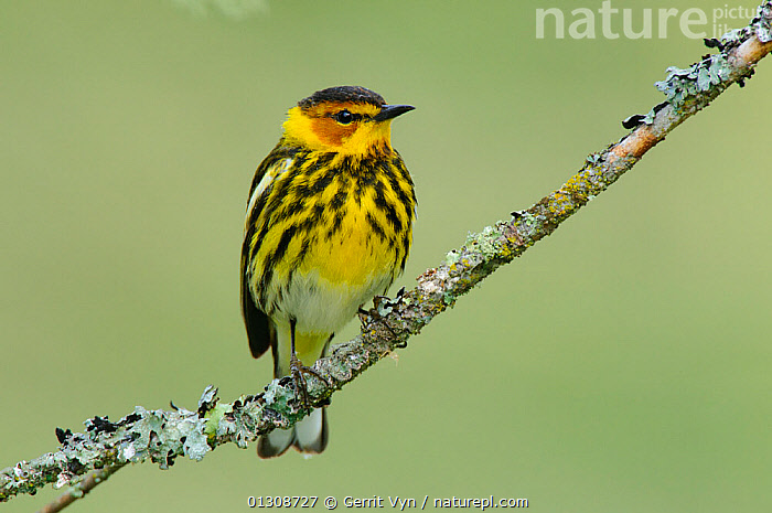 Cape May Warbler (Dendroica tigrina) male perched on branch, in breeding plumage. Alberta, Canada. June., BIRDS, BREEDING-PLUMAGE, CANADA, COLOURFUL, MALES, PORTRAITS, VERTEBRATES, WARBLERS, YELLOW,North America, Gerrit Vyn