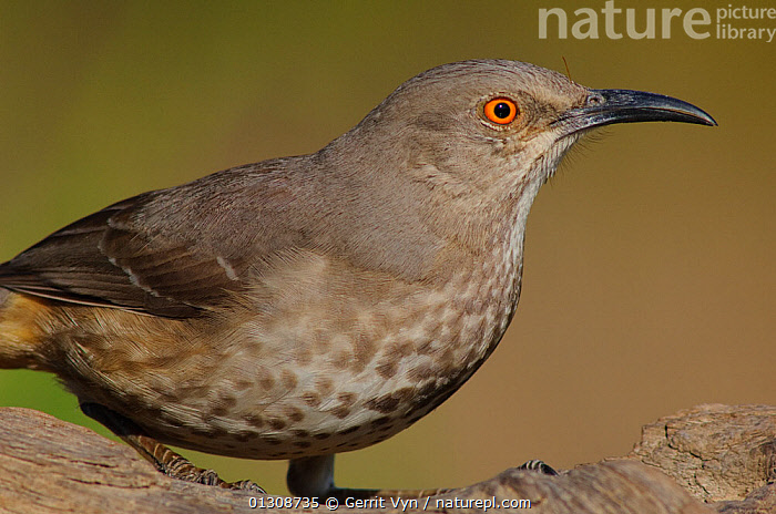 Curve-billed Thrasher (Toxostoma curvirostre curvirostre) portrait, this subspeices has conspicuous breast spotting compared to Western birds. Hidalgo County, Texas, USA March.  ,  BIRDS,CLOSE UPS,PORTRAITS,THRASHERS,USA,VERTEBRATES,North America  ,  Gerrit Vyn