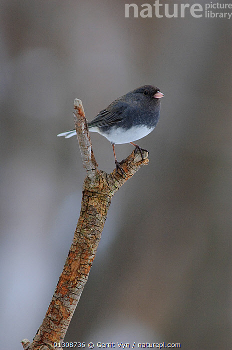 Dark-eyed Junco (Junco hyemalis) of the slate-colored form. Perched on branch, Tompkins County, New York, USA, February.  ,  BIRDS,SPARROWS,USA,VERTEBRATES,VERTICAL,WINTER,North America  ,  Gerrit Vyn