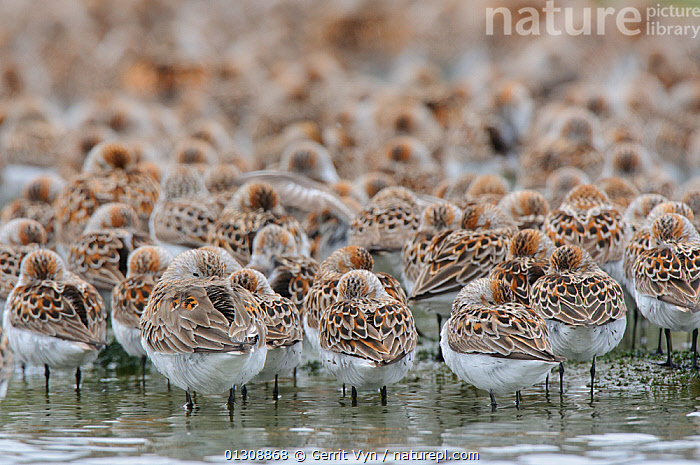 Western Sandpipers (Calidris mauri) and Dunlin (Calidris alpina) roosing during spring migration. Gray's Harbor County, Washington, USA, April., animal marking,BIRDS,BROWN,CALIDRIS ALPINA,CATALOGUE2,COASTS,differential focus,Dunlin,FLOCKS,focus on foreground,Grays Harbor County,group of animals,GROUPS,HARBOURS,large group of animals,MIGRATION,mixed species,MIXED SPECIES,nature,patterned,PATTERNS,plumage,POPULATION,preening,roosting,safety in numbers,SANDPIPERS,social behaviour,SOCIAL BEHAVIOUR,SPRING,Togetherness,VERTEBRATES,WADERS,Washington,WATER,WILDLIFE,Selective focus,North America,USA, Gerrit Vyn