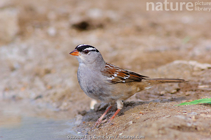 White-crowned Sparrow (Zonotrichia leucophrys) in breeding plumage, on sandy ground, Starr County, Texas, USA, March.  ,  BIRDS,BREEDING PLUMAGE,PORTRAITS,SPARROWS,USA,VERTEBRATES,North America  ,  Gerrit Vyn