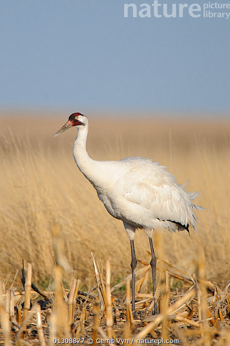 Whooping Crane (Grus americana) from a wild population foraging in a corn field during spring migration. Central South Dakota, USA, April.  ,  AGRICULTURE,BIRDS,CRANES,ENDANGERED,FIELDS,FORAGING,MIGRATION,PORTRAITS,STANDING,USA,VERTEBRATES,VERTICAL,North America  ,  Gerrit Vyn