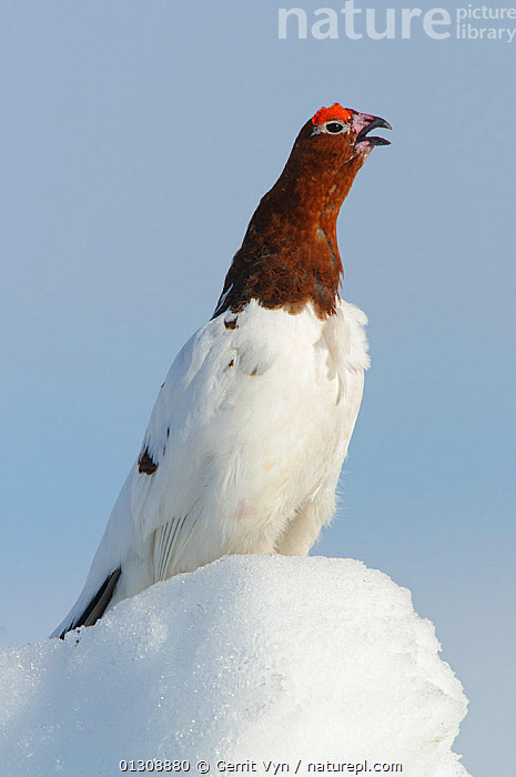 Willow Ptarmigan (Lagopus lagopus) male standing on snow covered ground, vocalising in spring courtship. Males retain the white body plumage of winter plumage and molt the head and neck feathers to the russet brown summer plumage during the spring courtship period. Seward Peninsula, Alaska, USA, May., BEHAVIOUR,BIRDS,BREEDING PLUMAGE,CALLING,COURTSHIP,GALLIFORMES,GAME BIRDS,GROUSE,MALES,PORTRAITS,SNOW,VERTEBRATES,VERTICAL,VOCALISATION,North America, Gerrit Vyn