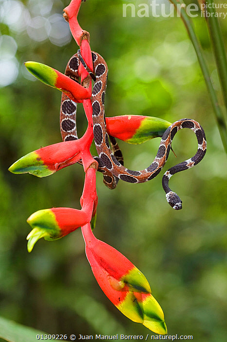 Catesby's snail-eating snake (Dipsas catesbyi) on Heliconia plant, Pacaya Samiria National Reserve, Amazon Basin, Loreto, Peru  ,  Amazon Basin,animal marking,Balance,catalogue3,close up,CLOSE UPS,COLOURFUL,Colubridae,COLUBRIDS,danger,flowerhead,front view,HABITAT,Heliconia,loreto,National Reserve,nature,Nobody,one animal,outdoors,Pacaya Samiria,Peru,plant,PLANTS,RED,REPTILES,RESERVE,SNAKES,SOUTH AMERICA,Threats,TROPICAL RAINFOREST,VERTEBRATES,VERTICAL,WILDLIFE  ,  Juan Manuel Borrero