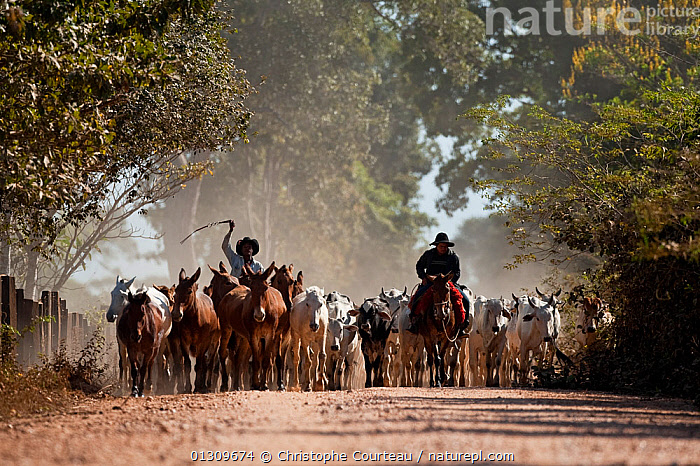 Pantaneiros horsemen leading cattle and horse livestock along the Transpantaneira, Pantanal, Brazil, July 2008  ,  animal care,Brazil,catalogue3,CATTLE,cowboys,dirt track,dust,farming,front view,full length,GROUPS,herding,Herds,herdsman,horseback,horsemen,HORSES,LANDSCAPES,LIVESTOCK,local industry,local people,MEN,mule,on the move,outdoors,Pantanal,Pantaneiros,PEOPLE,riding,road,ROADS,rural,SOUTH AMERICA,TRADITIONAL,Transpantaneira,Travel,two people,WORKING  ,  Christophe Courteau