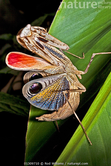 Nature Picture Library Peacock Praying Mantis Pseudempusa