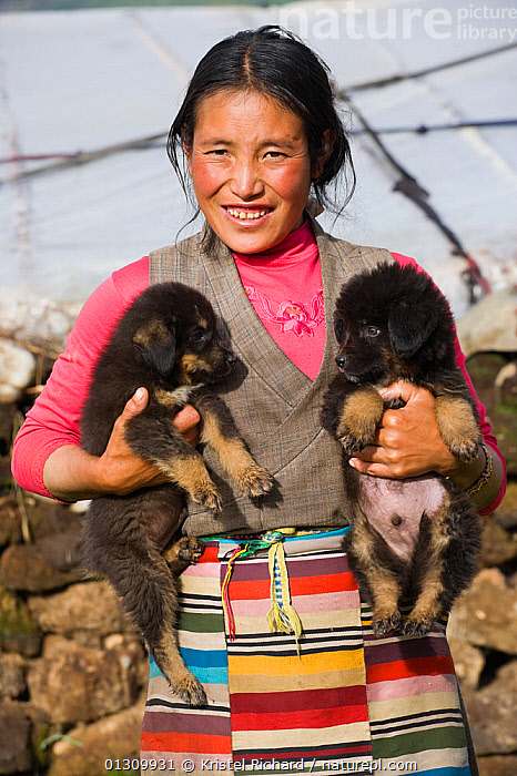 A Khampa woman farmer holds two baby Tibetan Mastiffs, near Huangyan, in the Garz� Tibetan Autonomous Prefecture in the Sichuan Province, China, June 2010  ,  Apron,BABIES,CHINA,Dog,DOGS,holding,one person,outdoors,PORTRAITS,Tibetan,TRIBES,two,two animals,VERTICAL,WOMAN,young animal,catalogue3,Farmer,front view,half length,Khampa,local people,Mastiff,PETS,puppy,SMILING,STANDING,Asia  ,  Kristel Richard