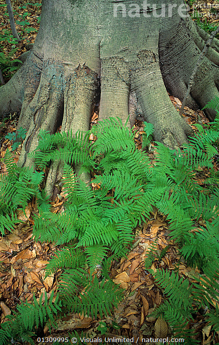 New York fern (Thelypteris noveboracensis) at the base of a Beech tree, USA.  ,  BEAUTY,BEECH,BEECHES,BOTANY,BUTTRESS,CLOSE UP,COLOR,DOUG,FERN,FERNS,FLOOR,FOREST,FRAME,LARGE,NATURAL,NEW,NOVEBORACENSIS,PLANTS,ROOT,ROOTS,SOKELL,THELYPTERIS,TREE,TRUNK,TRUNKS,USA,VERTICAL,YORK,North America  ,  Visuals Unlimited