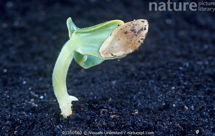 Cucumber seedling (Cucumis sativus)  ,  AGRICULTURE,BOTANY,CLOSE UP,COAT,COATS,COLOR,COTYLEDON,COTYLEDONS,CUCUMBER,CUCUMBERS,CUCUMIS,DARK,DEVELOPMENT,GERMINATING,GERMINATION,GROWING,GROWTH,JEROME,LEAF,LEAVES,LOAM,ONE,PLANT,PLANTS,SATIVUS,SEED,SEEDLING,SEEDLINGS,SEEDS,SOIL,SOILS,WEXLER,Concepts  ,  Visuals Unlimited