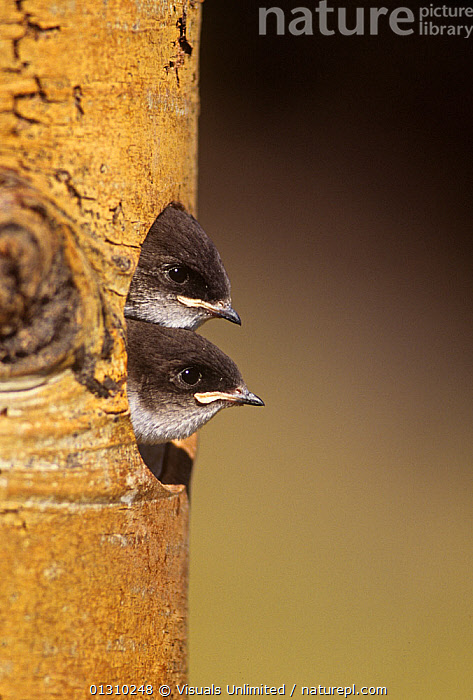 Violet-green swallow (Tachycineta thalassina) nestlings peering from their nest hole in a tree, North America.  ,  ANIMALS,BABY,BIRDS,CHARLES,CLOSE UP,COLOR,HOLE,HOLES,MELTON,NEST,NESTLING,NESTLINGS,NESTS,ORNITHOLOGY,SWALLOW,SWALLOWS,TACHYCINETA,THALASSINA,TWO,VERTICAL,VIOLET GREEN  ,  Visuals Unlimited