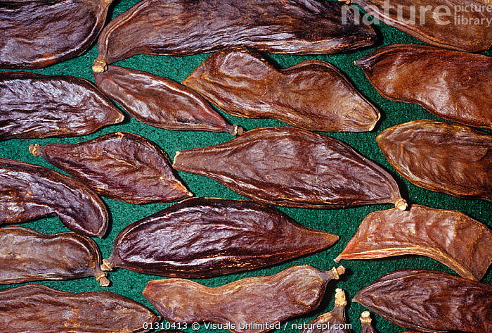 Carob / St. John's Bread (Ceratonia siliqua) dry seed pods for use as a spice or herb, Native to the Mediterranean region.  ,  AGRICULTURE,BREAD,BROWN,CAROB,CERATONIA,COLOR,DIRECTLY,FLAVORING,FOOD,GREEN,HERB,HORIZONTAL,IMAGE,JOHNS,LARGE,OBJECTS,PLANTS,POD,SEED,SHOT,SILIQUA,SPICE,SPICES,ST.,STUDIO  ,  Visuals Unlimited