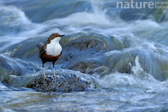 Dipper (Cinclus cinclus) portrait, standing on exposed stone, in fast flowing freshwater river, Brecon Beacons National Park, Wales, UK, animal marking,BIRDS,Brecon Beacons,BROWN,CATALOGUE2,close up,CLOSE UPS,curiosity,CUTE,DIPPERS,FRESHWATER,full length,HABITAT,looking up,national park,Nobody,NP,one animal,outdoors,Powys,river,RIVERS,rock,STANDING,stone,UK,VERTEBRATES,WALES,WATER,WHITE,white colour,Europe,United Kingdom, Andy Rouse