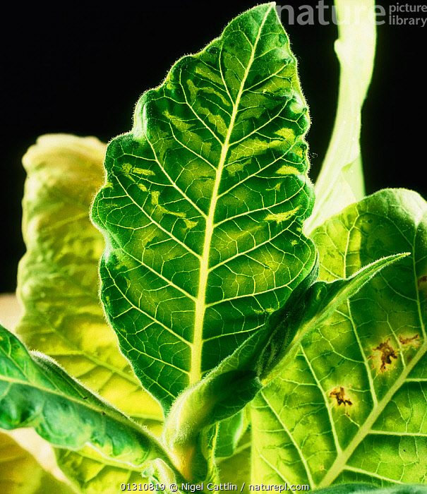 Nature Picture Library - Tobacco Mosaic Virus (TMV