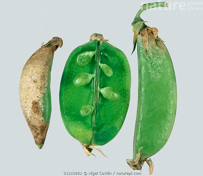 Damage to Pea pods (Pisum sativum) caused by Pea Thrips (Kakothrips pisivorus).  ,  AGRICULTURE,BOTANY,CATTLIN,CLOSE UP,COLOR,CROP,ECONOMIC,ENTOMOLOGY,HORIZONTAL,IMAGE,INSECT,INSECTS,KAKOTHRIPS,NIGEL,NOBODY,PATHOLOGY,PEA,PEST,PESTS,PHOTOGRAPHY,PISIVORUS,PISUM,PLANT,PLANTS,POD,PODS,SATIVUM,SHOT,STUDIO,THREE,THRIP,THRIPS,Invertebrates  ,  Nigel Cattlin