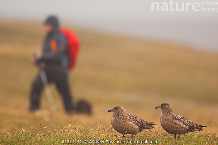 Pair of Great skuas (Stercorarius skua) on a misty moorland, with person walking close to their territory, Shetland Islands, Scotland, UK, June (non-ex)  ,  BIRDS, hiking, MIST, MOORLAND, outdoors, PEOPLE, RAIN, RAINING, SCOTLAND, SEABIRDS, SKUAS, Stercorarius skua, SUMMER, TERRITORIAL, VERTEBRATES, WEATHER, wet,Europe,UK,United Kingdom  ,  Andrew Parkinson