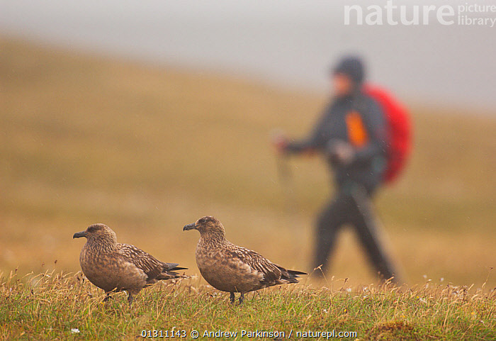 Pair of Great skuas (Stercorarius skua) on a misty moorland with person walking close to their territory. Shetland Islands, Scotland, UK, June.    (non-ex)  ,  bad weather, BIRDS, catalogue3, close up, CLOSE-UPS, differential focus, focus on foreground, hiking, hillside, MAN, MIST, MOORLAND, nature, one person, outdoors, Pair, PEOPLE, RAIN, RAINING, SCOTLAND, SEABIRDS, selective focus, SKUAS, Stercorarius skua, SUMMER, TERRITORIAL, two animals, VERTEBRATES, walkers, WALKING, WEATHER, wet,Europe,UK,United Kingdom  ,  Andrew Parkinson