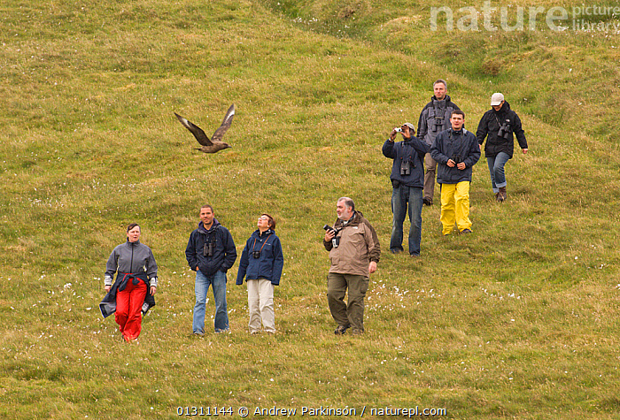 Great skua (Stercorarius skua) launching a territorial attack on a group of walkers, Shetland Islands, Scotland, UK, June.    (non-ex), AGGRESSION, attacking, BEHAVIOUR, BIRDS, MOORLAND, PEOPLE, SCOTLAND, SEABIRDS, SKUAS, Stercorarius skua, SUMMER, TERRITORIAL, UK, VERTEBRATES, WALKING,Europe,United Kingdom, Andrew Parkinson