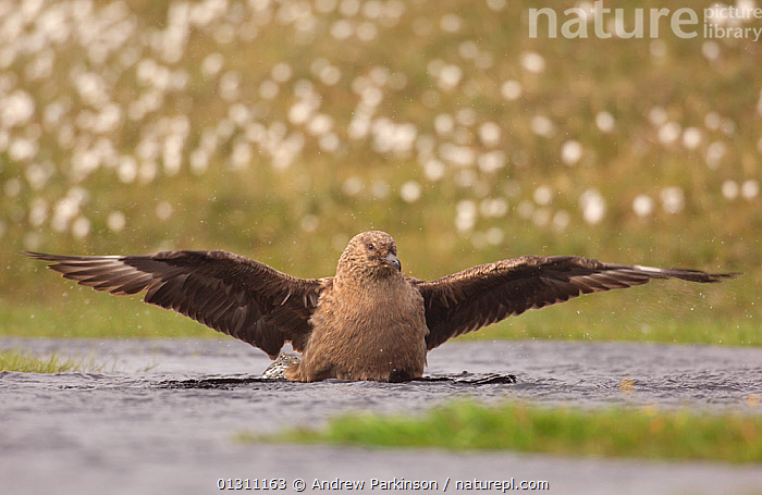 Great skua (Stercorarius skua) bathing in a freshwater pool. Shetland Islands, Scotland, UK, June (non-ex)  ,  BATHING, BEHAVIOUR, BIRDS, FRESHWATER, SCOTLAND, SEABIRDS, SKUAS, Stercorarius skua, SUMMER, UK, VERTEBRATES, WATER,Europe,United Kingdom  ,  Andrew Parkinson