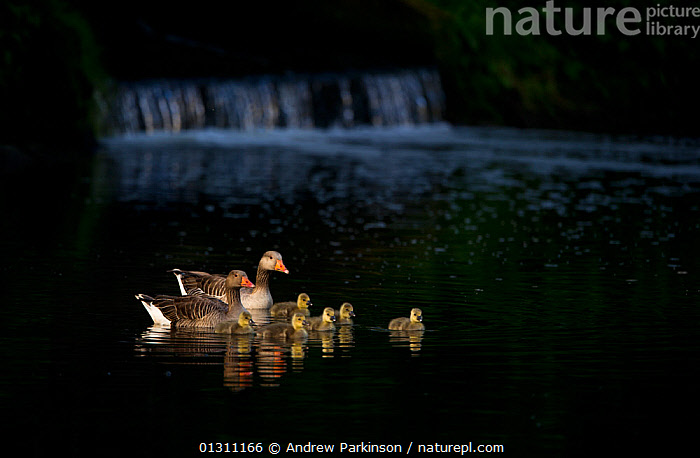 Pair of Greylag geese (Anser anser) and chicks spotlit by dawn sunlight near a small weir. Nottinghamshire, UK, May (non-ex), animal family,BIRDS,catalogue3,chick,CHICKS,DAWN,differential focus,ENGLAND,FAMILIES,focus on foreground,GEESE,GROUPS,idyllic,medium group,medium group of animals,NIGHT,Nobody,Nottinghamshire,outdoors,Parenting,preotection,river,RIVERS,rural,selective focus,SPRING,SUMMER,sunlight,UK,VERTEBRATES,WATER,WATERFOWL,weir,WILDLIFE,young animal,Europe,United Kingdom, Andrew Parkinson