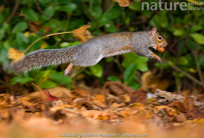Grey squirrel (Sciurus carolinensis) bounding through autumnal leaves, carrying nut in mouth.