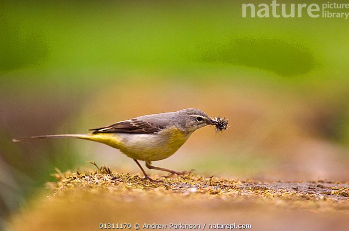 Grey wagtail (Motacilla cinerea) adult with a beak full of insect prey for its chicks. Derbyshire, UK, May  (non-ex), BEHAVIOUR,BIRDS,FEEDING,HUNTING,INSECTS,PARENTAL,SPRING,UK,VERTEBRATES,WAGTAILS,Invertebrates,Europe,United Kingdom, Andrew Parkinson