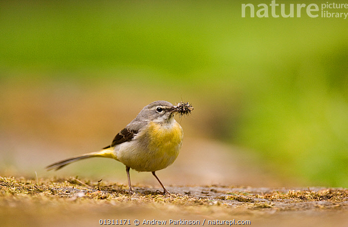 Grey wagtail (Motacilla cinerea) adult with a beak full of insect prey for its chicks. Derbyshire, UK, May