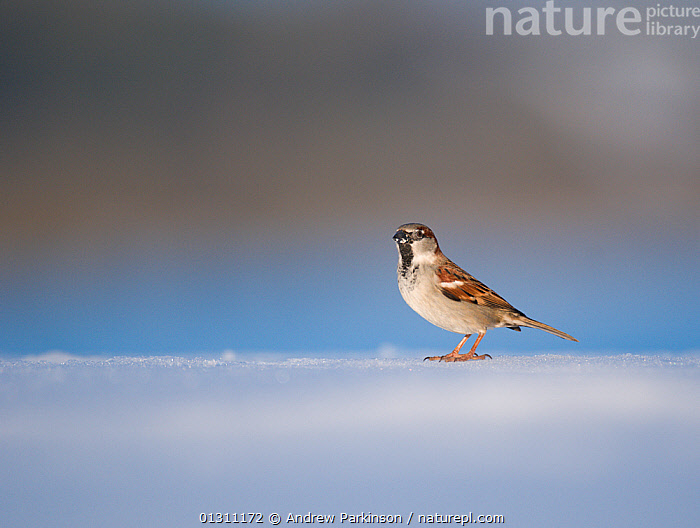 House sparrow (Passer domesticus) portrait of male, on snow covered ground. Derbyshire, UK. February 