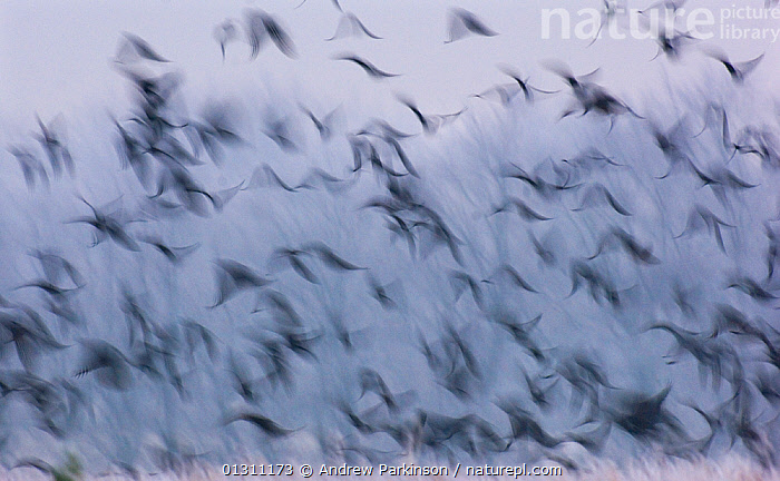 Jackdaws (Corvus monedula) and Rooks (Corvus frugilegus) mixed winter flock taking flight from a frost covered field of crop stubble, Derbyshire, UK, January (non-ex), ABSTRACT,BIRDS,BLUR,BLURRED,CORVIDS,CORVUS FRUGILEGUS,CROWS,FLOCKS,FLYING,MIXED SPECIES,MOVEMENT,PATTERNS,TIME EXPOSURE,UK,VERTEBRATES,WINTER,Europe,United Kingdom, Andrew Parkinson