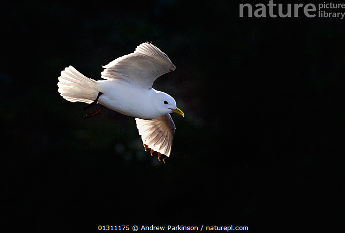Kittiwake (Rissa tridactyla) flying in front of shaded cliff face, in evening light, Bempton Cliffs, RSPB Reserve, East Yorkshire, UK,  (non-ex), BIRDS,CLIFFS,COASTS,FLYING,GULLS,RESERVE,RSPB,SEABIRDS,UK,VERTEBRATES,Geology,Europe,United Kingdom, Andrew Parkinson