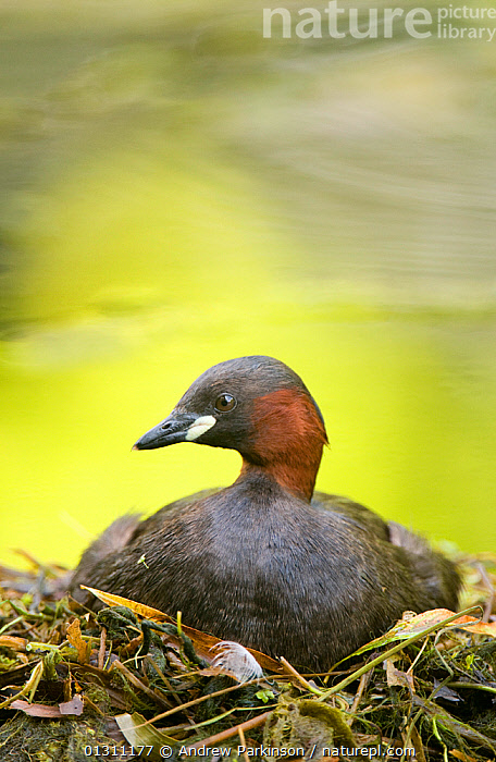 Little grebe (Tachybaptus ruficollis) incubating on floating nest, made of weed debris, Derbyshire, UK, March (non-ex)  ,  BIRDS,DABCHICK,GREBES,NESTS,PORTRAITS,UK,VERTEBRATES,VERTICAL,WATER,WATERFOWL,Europe,United Kingdom  ,  Andrew Parkinson