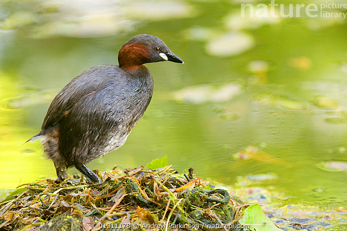Little grebe (Tachybaptus ruficollis) standing on floating nest, made of weed debris, Derbyshire, UK, March (non-ex), BIRDS,DABCHICK,GREBES,NESTS,PORTRAITS,UK,VERTEBRATES,VERTICAL,WATER,WATERFOWL,Europe,United Kingdom, Andrew Parkinson