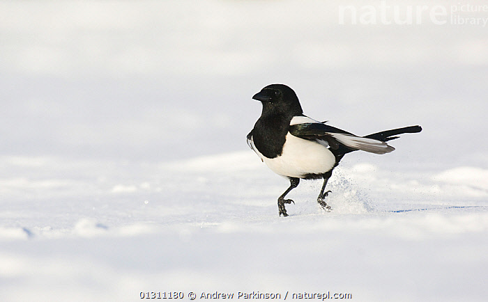 Magpie (Pica pica) hopping along over snow covered ground. Derbyshire, UK, November (non-ex), BIRDS,ENGLAND,FROZEN,JUMPING,MAGPIES,SNOW,UK,VERTEBRATES,WINTER,Europe,United Kingdom,Corvids, Andrew Parkinson