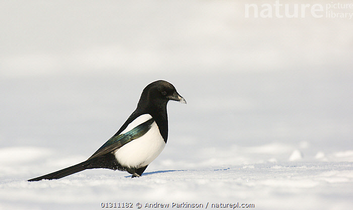 Magpie (Pica pica) foraging on snow covered ground. Derbyshire, UK, January (non-ex), BIRDS,ENGLAND,FORAGING,HUNGRY,MAGPIES,SNOW,UK,VERTEBRATES,WINTER,Europe,Concepts,United Kingdom,Corvids, Andrew Parkinson